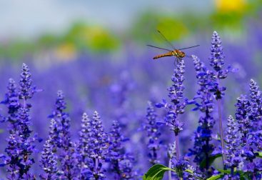 Lavender plants with dragonfly